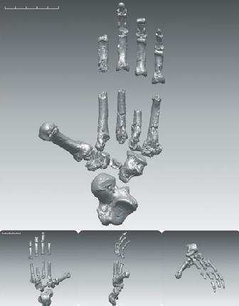 Il piede di Ardi (Science/AAAS)