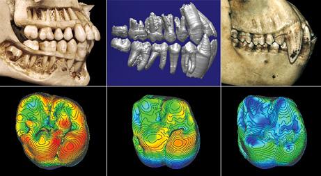 Immagine dei denti di essere umano moderno, di Ardi e di scimpanze (Science/AAAS)