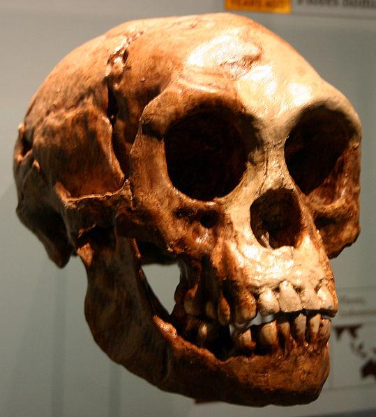 Teschio di Homo floresiensis (FunkMonk)