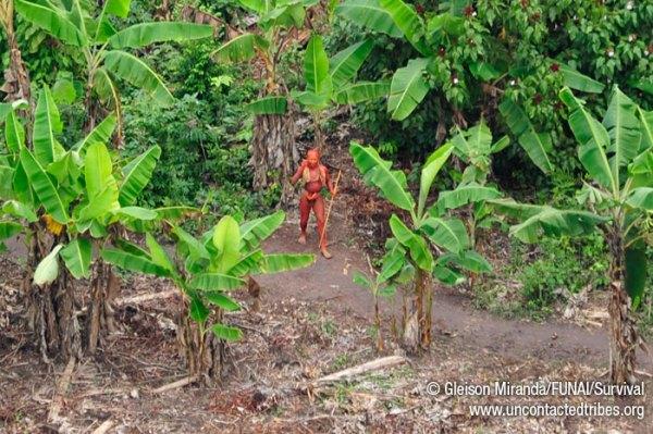 L'uomo, con il corpo dipinto con l'annatto, è nell'orto della comunità, in mezzo ai banani (Gleison Miranda/FUNAI/Survival)