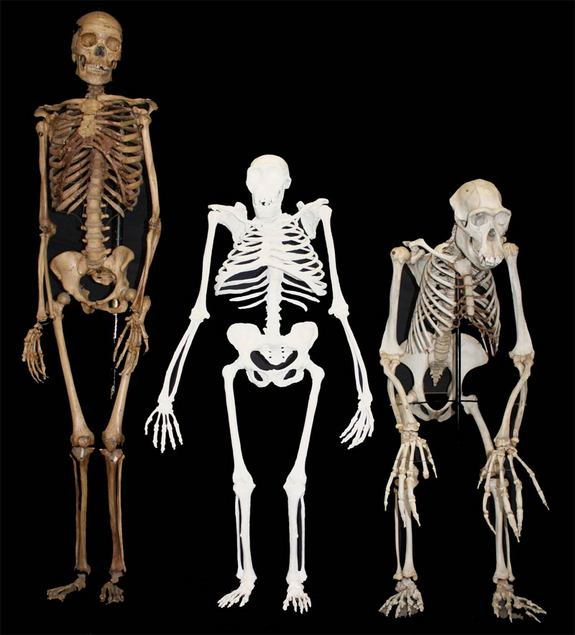 Da sinistra: un Homo sapiens, un Au. sediba, e un Pan troglodytes (Lee R. Berger and the University of the Witwatersrand)