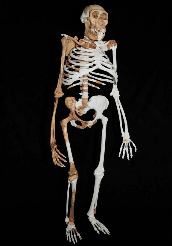 Ricostruzione dell'Australopithecus sediba (Lee R. Berger and the University of the Witwatersrand)