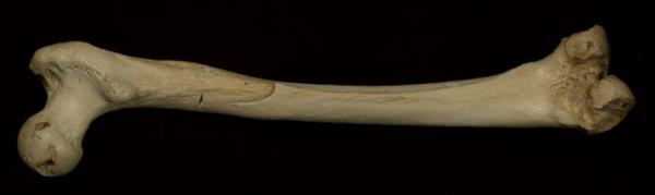 Il femore da Sima de los Huesos (Nature)