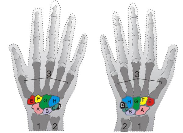 Le ossa della mano, il metacarpo è indicato con il numero 3 (wikipedia)