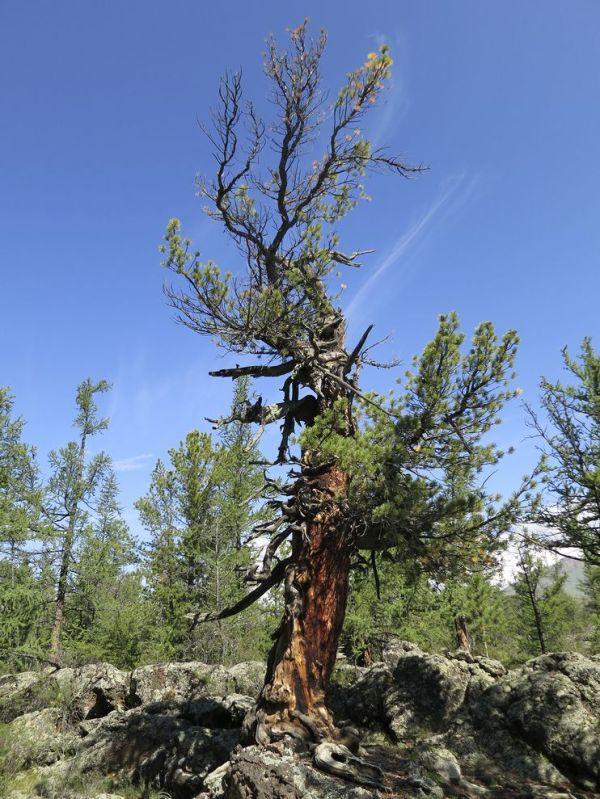 Un pino siberiano (Kevin Krajick/Earth Institute)
