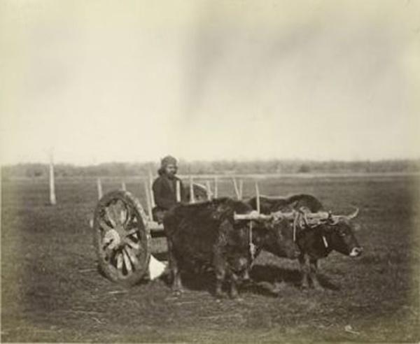 In questa immagine scattata nel 1898, due buoi trainano un calesse (New York Public Library)