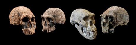 Crani di specie appartenenti ai cosiddetti gruppi KNM-ER 1470 (sinistra) e KNM-ER 1813 (secondo da sinistra) del genere  Homo, il cranio di Dmanisi (secondo da destra) e di Homo erectus (a destra). (Cortesia Chip Clark, Smithsonian Human Origins Program/Guram Bumbiashvili, Georgian National Museum)