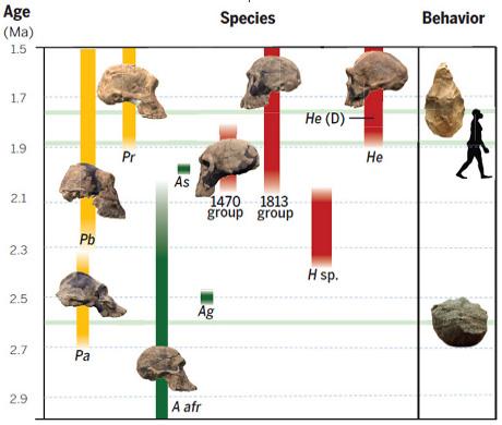 L'evoluzione degli ominini da 3 a 1,5 milioni di anni fa: in verde Australopithecus; in giallo Paranthropus, in rosso Homo. Le icone indicano, dal basso: la prima apparizione di strumenti di pietra circa 2,6 milioni di anni fa; la dispersione di Homo in Eurasia circa 1,85 milioni di anni fa; la comparsa della tecnologia dell'Acheuleano circa 1,76 milioni di anni fa.