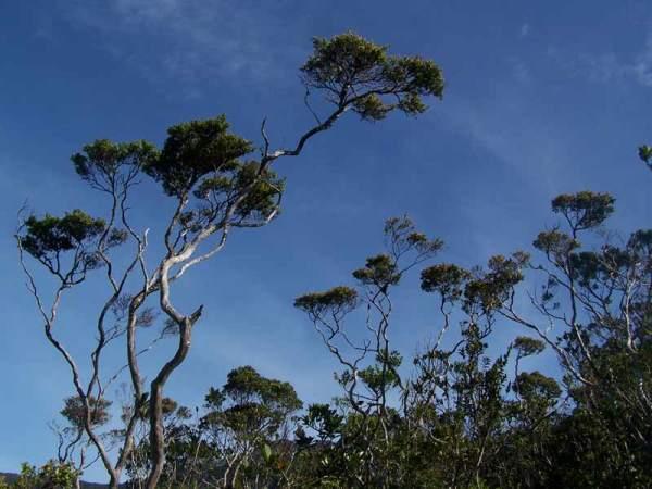 (Roy F. Ponce, Pygmy trees)