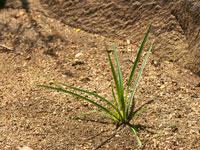 Gli estratti di zigolo infestante bloccano la crescita di alcuni batteri responsabili delle carie (Dinodia Photos, Alamy)