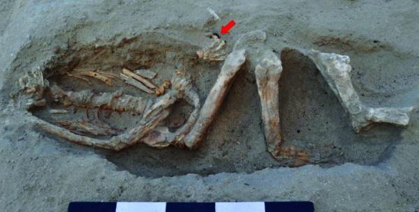 Scheletro di uomo del I secolo d.C. La freccia indica un anello di ferro (S.E. Sidebotham)