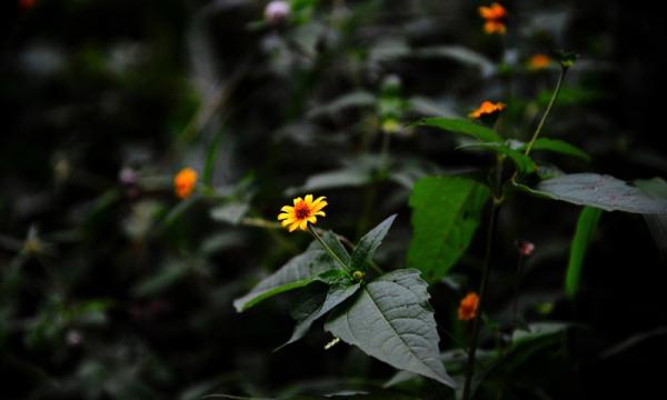 Tajonal, della famiglia delle Asteraceae (INAH)