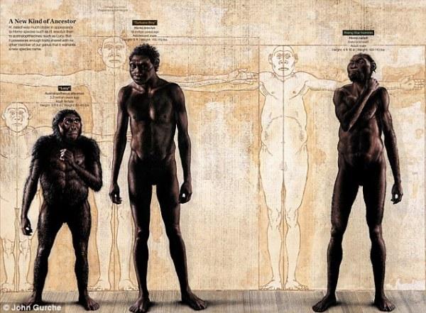 Da sinistra: un australopiteco, un Homo erectus, un Homo naledi (John Gurche)