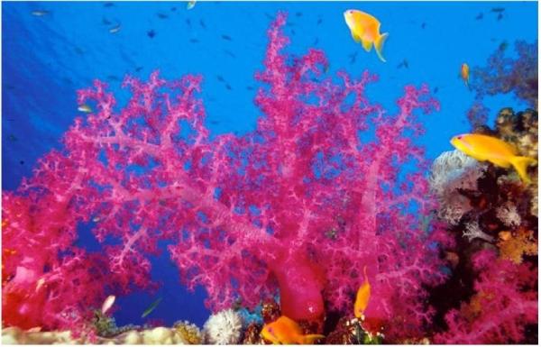 Soft coral (Alconarian) (PERGSA)