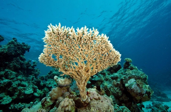 Vertical growth of Acropora (Ministry of Trade, Sudan Government)