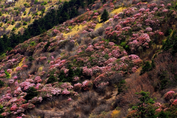 Hubei Shennongjia. Rhododendron Flowers (Institute of Botany, The Chinese Academy of Science)