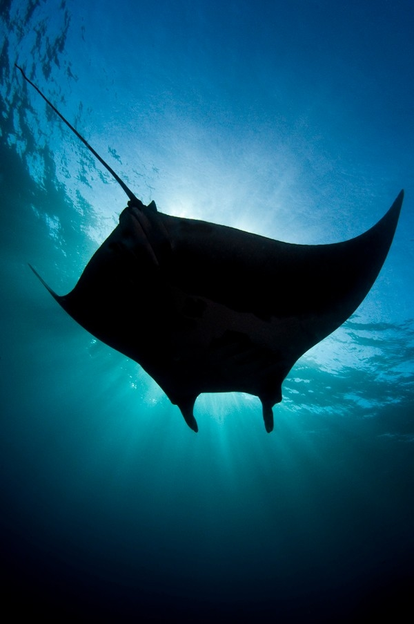 Archipielago de Revillagigedo: Giant manta ray (Valeria Mas Gomez)