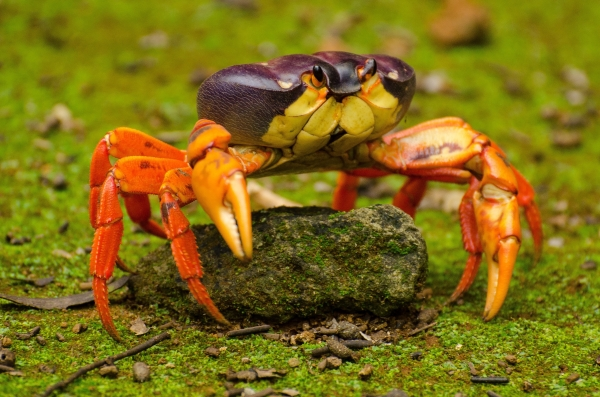 Archipielago de Revillagigedo: Red Land Crabs (Jose Antonio Soriano/GECI)