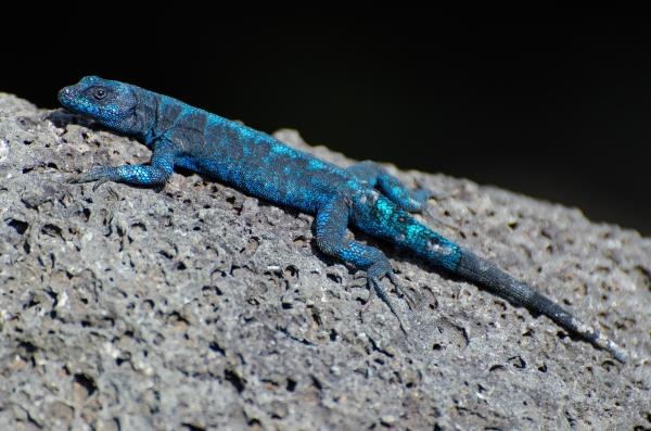 Archipielago de Revillagigedo: Socorro Island Tree Lizard (Jose Antonio Soriano/GECI)
