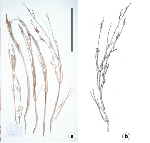 Le piante nella M231 (Hongen Jiang et al. Economic Botany. 2016)